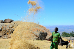 Boy in mountains near Lalibela separating the wheat from the chaff
